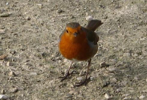 Wee British Robin.