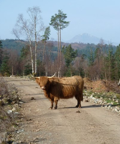 highlandcoo